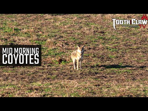 Mid Morning Coyotes – Coyote Hunting