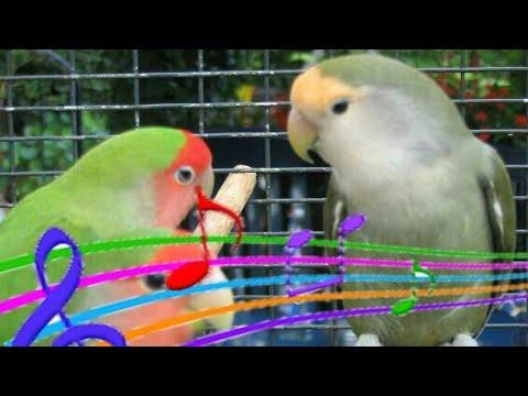 chant inséparable oiseaux HD sound