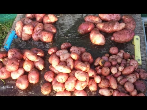 Christmas Potato Harvest & Leaf Mould No Dig Organic Gardening Mulch
