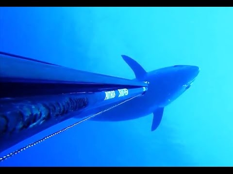 AMAIZING TUNA 130 STONED SPEARFISHING by OZAN ÖNEN - Pesca tonno Chasse marine Thon