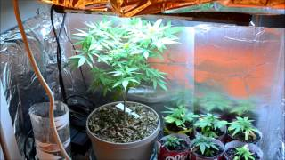 Ep. 10 Build Update Plus The New Lineup | Indoor Cfl Cannabis Grow Cabinet Experiment Closet