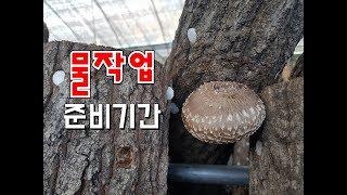 물주기전 원목표고버섯 수확중!!
