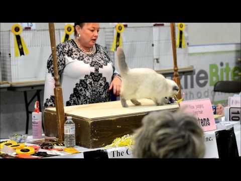 Karabel Exotics @ Golden Triangle Cat Fanciers