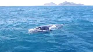 Very curious humpback whale Whitsundays, Australia