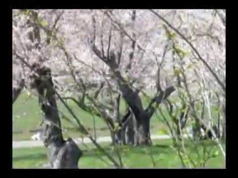 Home Videos: Japanesse Cherry Blossoms 2016 in Athens, Ohio on Ohio Univeristy Campus