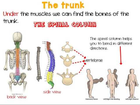 The human trunk - YouTube