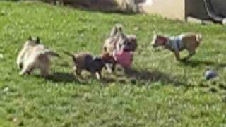 Cairn Terrier Rescue Puppies  In Nj- Part 4 Of 5