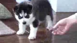 Dogs are still living vigorously. ハスキーTVクッキーの幼少時代ハ...