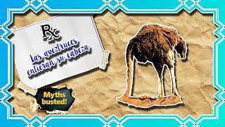 Las avestruces entierran su cabeza (¿es cierto que lo hacen?) | Mitos de veterinaria y animales|