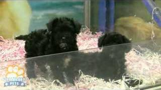 Poodle X Mini Schnauzer Puppies