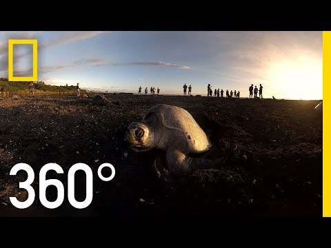 Sea Turtles Nesting In Costa Rica - 360   National Geographic