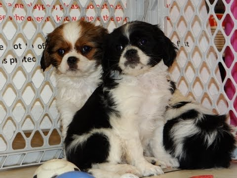 Cavachin, Puppies, Dogs, For Sale, In Jackson, Mississippi ...