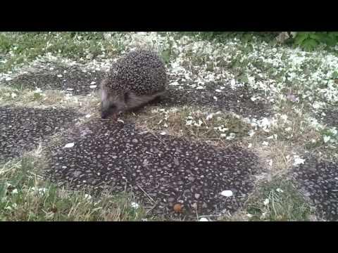 Hedgehog likes dog food