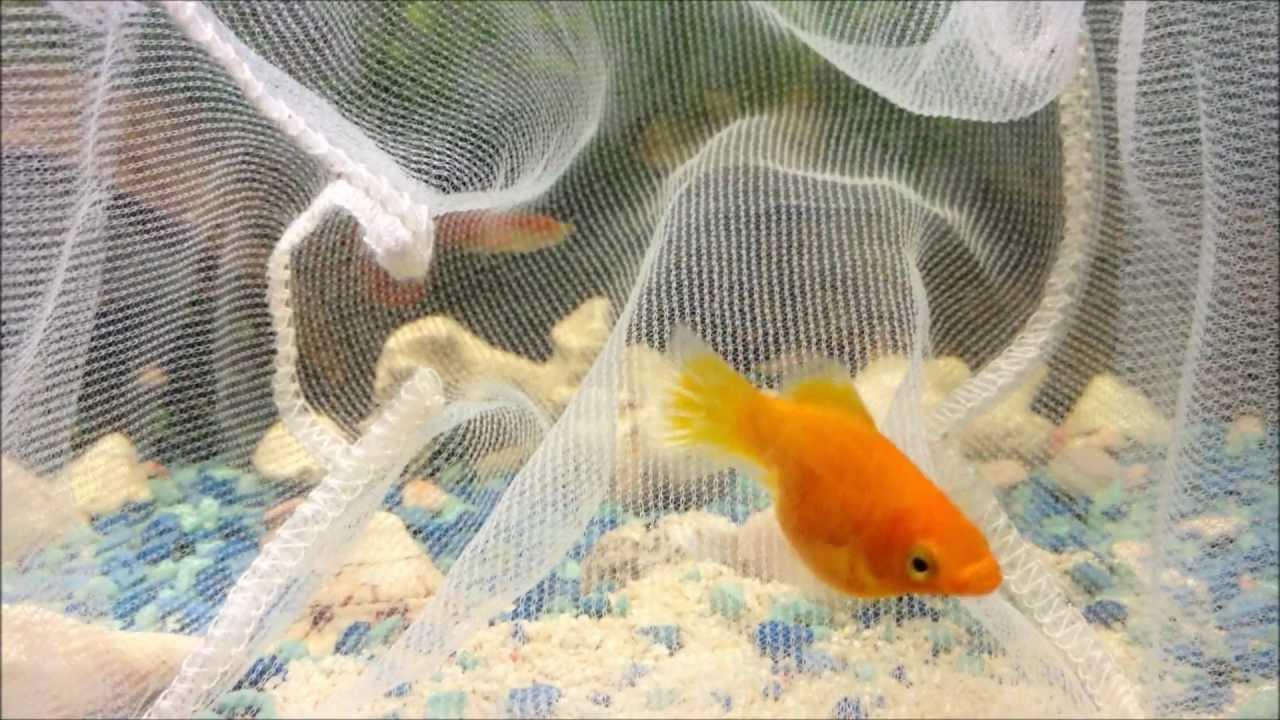 Orange balloon molly giving birth youtube for Molly fish babies