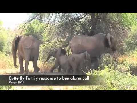 Elephant Alarm Call Warns of Angry Bees | Video