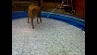 Fell Terrier Bella