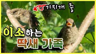 자연 적응 훈련중인 딱새 새끼 / 마지막 딱새집의 이소