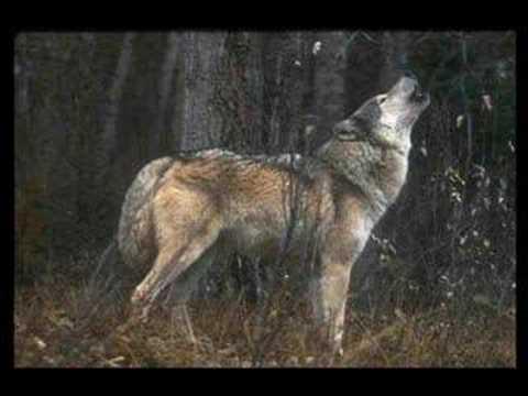 Um Vídeo com fotos de lobo