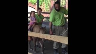Turtle back zoo pony ride 2016