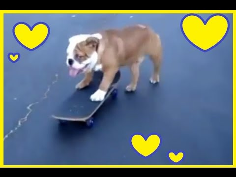 Bulldogs are the best Dogs ever! Funny Dog Vine Compilation