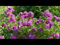 4K HDR Video – Beautiful Flower Garden in Canada, The Butchart Gardens