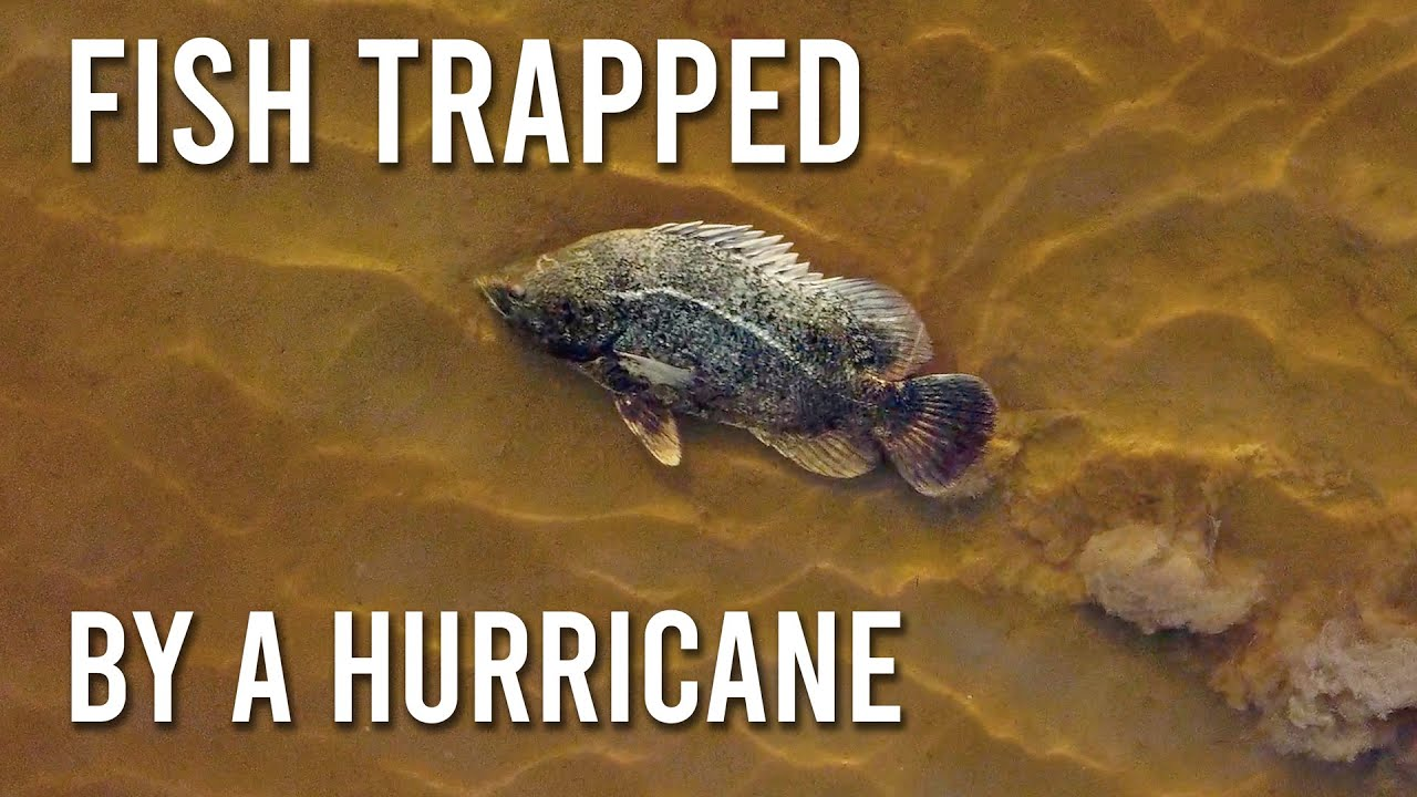 Catching Fish Trapped by a Hurricane