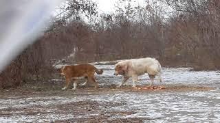 Отлов собак сетью в Тирасполе