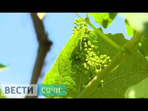 Сочинские виноградари призывают горожан выращивать виноград