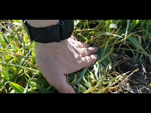 Выращивание оз.ячменя.No-till 03.04.2020. Состояние посевов