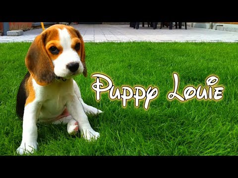 Cute Beagle Puppy from 8 weeks to 8 months : Cute Beagle Puppy Louie