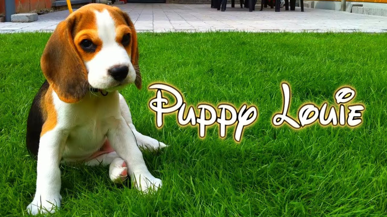 Amazing Small Leg Beagle Adorable Dog - maxresdefault  Snapshot_872542  .jpg