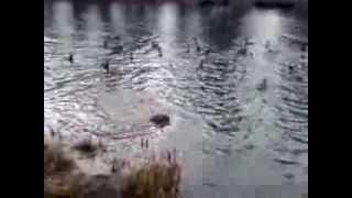 Щенок Английского спаниеля на охоте)))