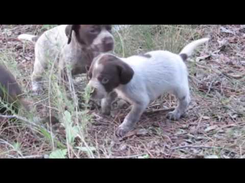 cachorros-de-braco-alemán