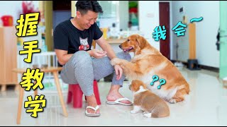 The host teaches little Corgi to shake hands, and the golden retriever enthusiastically performs