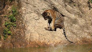 Tiger Temple in Thailand / Świątynia tygrysów