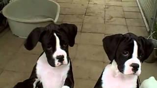 Solio & Charade flashy reverse brindle girls