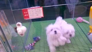 Мальтэзии  порода собак  из корее