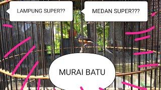 Murai batu apa itu??? Medan SUPER??? Lampung Super??? penting ekor panjang atau materi lagu bagus