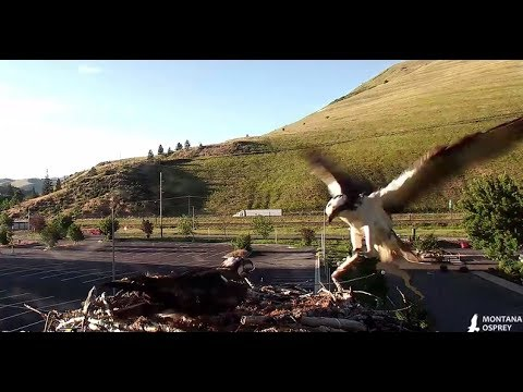 Late afternoon fish for Hellgate chicks and Iris  2017 06 11 21 38 03 209