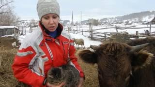 Жизнь в деревне Неудачи с КРС Отел коров Что нужно знать
