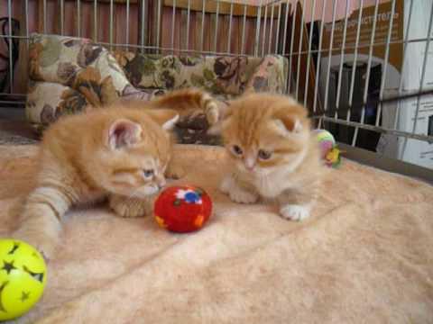 Манчкин. Короткие кошачьи истории - Часть 1 - YouTube