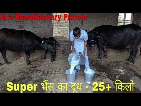 Milk 25+ KG - Super Milk-line Buffalo @ Narwana, Jind - Evening Milk Recorded on 29.3.2018.👍👍