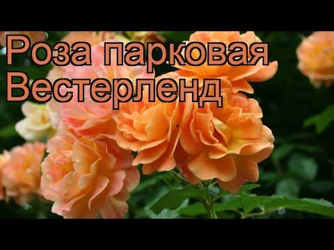 Роза парковая Вестерленд (rosa vesterlend) 🌿 Вестерленд обзор: как сажать, саженцы розы Вестерленд