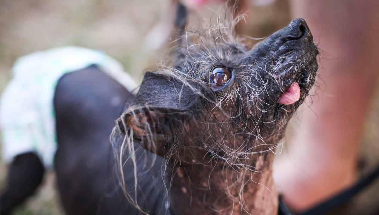 Looking Ruff: World's Ugliest Dog Contest - YouTube