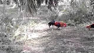 Mikat ayam hutan)(tipah tertipu)