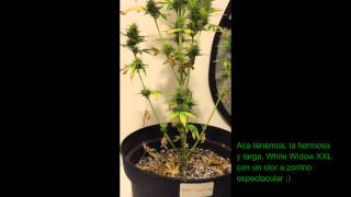 Cultivo de Marihuana - moby dick xxl - white widow xxl - sweet skunk auto - Dia 75 - Indoor