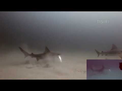 Sharks circle and devour injured fish (multi cam)