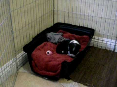 """Download Layla the Border Collie chewing on her 'kong"""" toy( 3 weeks old )"""