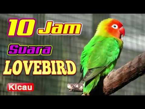 masteran burung lovebird durasi 10 jam