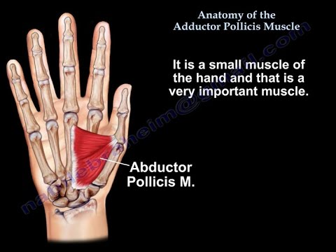 Anatomy Of The Adductor Pollicis Muscle Everything You Need To